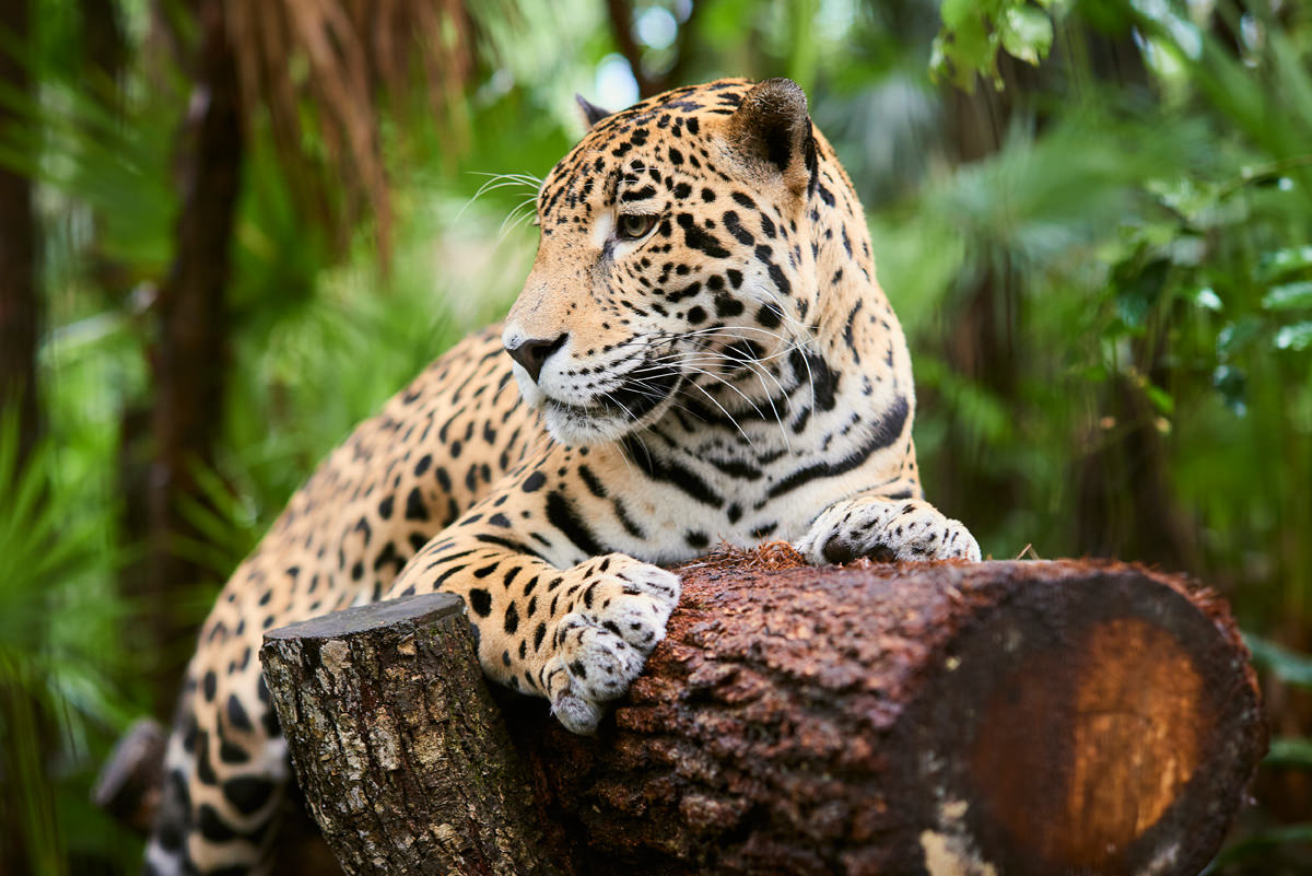 jaguar-animals-of-belize3