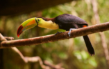 toucan-animals-of-belize1